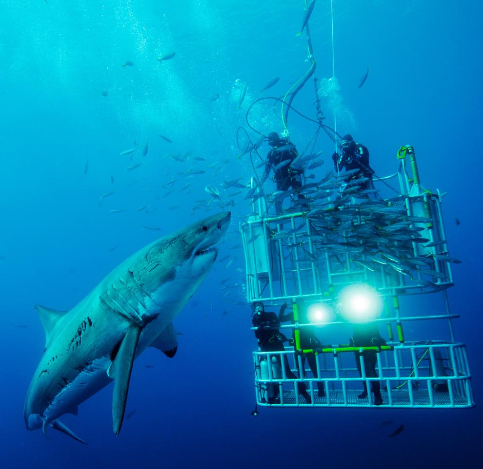 Bucear en Australia con tiburones blancos